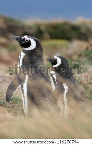 Magellan penguin couple, Punta Arenas, Chile