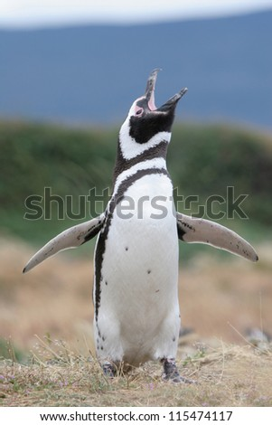 Magellan Penguin flaps its wings & makes some noise, Punta Arenas, Chile
