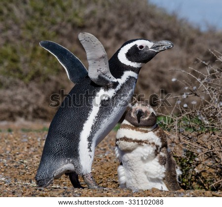 Magellan penguin nesting. Funny pictures. Argentina. Peninsula Valdes. An excellent illustration.