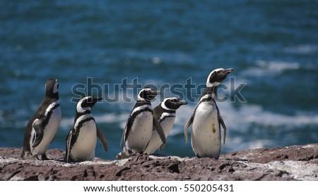 Magellan Penguin, Patagonia, South America.