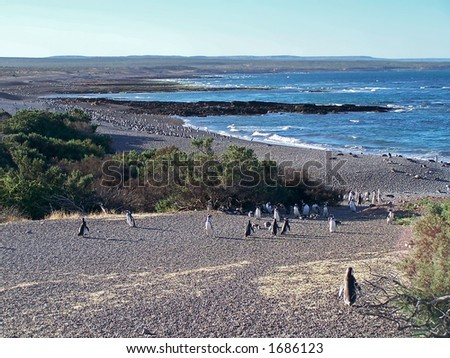 Magellan penguins in natural reserve Punto-Tombo (Argentina)