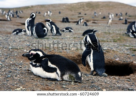 Magellan penguins in pairs and families on an island in Chile