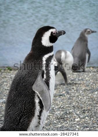 Magellan penguins near Ushuaia, Patagonia