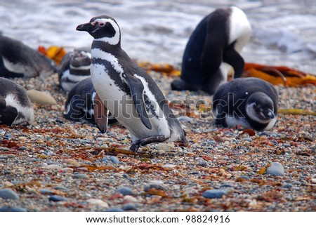 Magellan Penguins (order Sphenisciformes, family Spheniscidae) are a group of aquatic, flightless birds living almost exclusively in the southern hemisphere, especially in Antarctica.