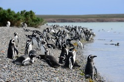 Magellanic penguin photographed in Argentinian southern Patagonia