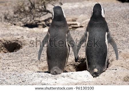 Magellanic penguins in love in Patagonia, South America - stock photo