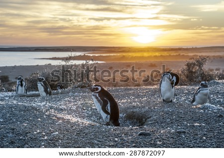 Magellanic Penguins, very early golden morning at Natural protected area Punta Tombo, Chubut, Patagonia, Argentina