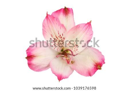 Magenta alstroemeria flower isolated against white ez canvas magenta alstroemeria flower isolated against white mightylinksfo