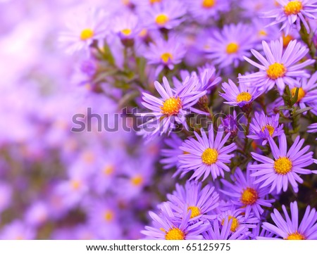 Magenta asters flowerbed. Shallow Depth Of Field.