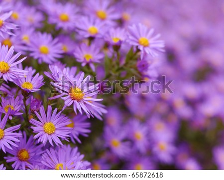 Magenta asters flowerbed. Shallow depth of field