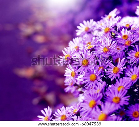 Stock Photo Magenta asters flowerbed. Shallow depth of field