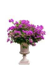 Magenta Bougainvillea flower in porcelain pot. Isolated on white background with clipping path.