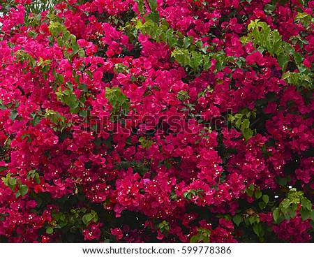 Magenta bougainvillea flowers as a background.Floral background.