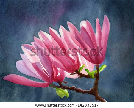 Magenta Magnolia with Dark Background.  Watercolor painting of dark pink magnolia blossoms with a dark background