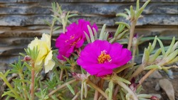 Magenta moss roses against stone wall background. Magenta roses background.