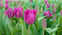 Magenta tulips against green foliage. Purple tulips background. Tulips backdrop. Purple floral background. Purple tulip blooms. Blooming tulips. Purple tulip buds.