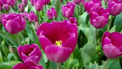 Magenta tulips in green foliage. Purple tulips background. Purple tulip buds. Purple tulip fields. Blooming tulips. Purple tulips field. Tulip backdrop.