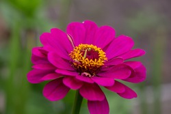 Magenta zinnia macro photography. Magenta flower with yellow stamens garden photography.