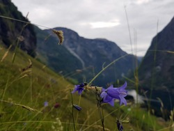 magestic blue flower in the mountains