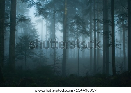 Magic and foggy morning spruce forest.