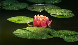 Magic big bright pink lily or lotus flower Perry's Orange Sunset in pond. Nymphaea with water drops in garden pond. Flower landscape for nature wallpaper with copy space. Selective focus
