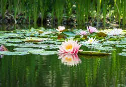 Magic big bright pink water lily or lotus flower Perry's Orange Sunset in pond. Nymphaea reflected in water. Flower landscape for nature wallpaper with copy space