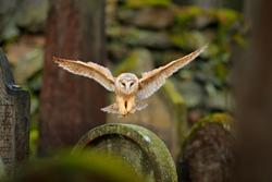 Magic bird Barn owl, Tyto alba, flying above stone fence in forest cemetery. Wildlife scene from nature. Animal behaviour in wood. Owl landing. Urban wildlife.