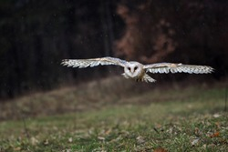 Magic bird Barn owl,Tyto alba flying in the dark forest,rain in the backround,owl landing.