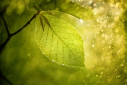 Magic blurry sunny beech leaf with raindrops and sunshine.