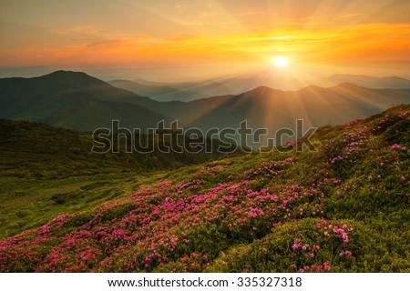 Magic flowering pink rhododendron flowers in Carpathian mountains, wonderful summer sunrise landscape, Ukraine, Carpathian national park, Marmarosy ridge,  famous place, wallpaper landscape background - Shutterstock ID 335327318