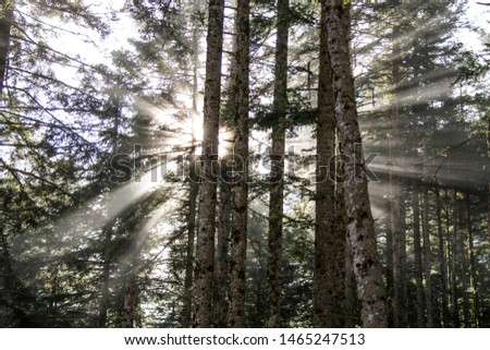 Magic lights in an ancient Pyrenees forest, with sunbeams and fog. #1465247513