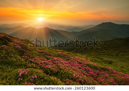 Magic pink rhododendron flowers in the mountains, ridge Marmarosy between Ukraine and Romania, world travel - Shutterstock ID 260123600