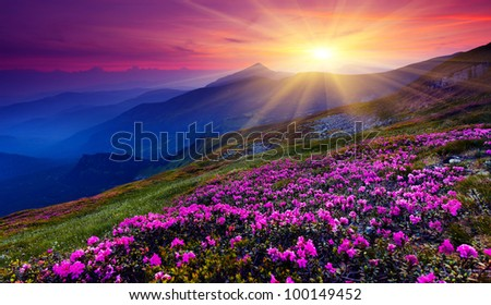 Magic pink rhododendron flowers on summer mountain Carpathian Ukraine