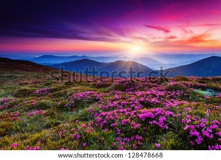 Magic pink rhododendron flowers on summer mountain.Carpathian, Ukraine. #128478668