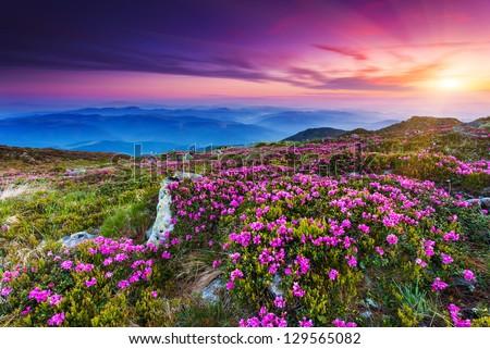 Magic pink rhododendron flowers on summer mountain.Carpathian, Ukraine. Europe #129565082