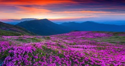 Magic pink rhododendron flowers on summer mountain. Carpathian, Ukraine. Geolocation 48.052927,24.62594