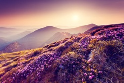 Magic pink rhododendron flowers on summer mountain. Colorful sky. Carpathian, Ukraine, Europe. Beauty world.