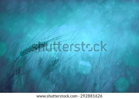 Magical blue color wheat closeup background. Selective focus used. Countryside rainy wheat field fantasy background.