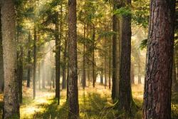 Magical Deep foggy Autumn Forest. Park. Beautiful Scene Misty Old Forest with Sun Rays, Shadows. Scenic Landscape