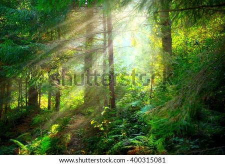 Magical Deep foggy Forest. Park. Beautiful Scene Misty Old Forest with Sun Rays, Shadows and Fog