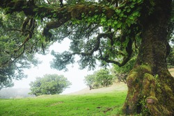 Magical endemic laurel trees in Fanal laurisilva forest in Madeira, World Heritage Site by UNESCO in Portugal. Beautiful green summer woods with thick fog