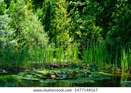 Magical garden pond with blooming water lilies and lotuses. Spruce, tui and other evergreens on shore are reflected in water surface of pond. Atmosphere of relaxation, tranquility and happiness #1477148567