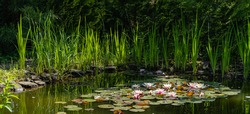 Magical garden pond with blooming water lilies and lotuses. Water and other evergreens along coast are reflected in water surface of pond. Atmosphere of relaxation, tranquility and happiness.
