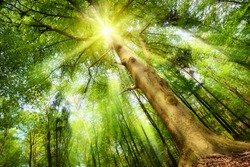 Magical mood in a fresh green forest with the sun shining through a big beech tree's crown and casting beautiful sunrays