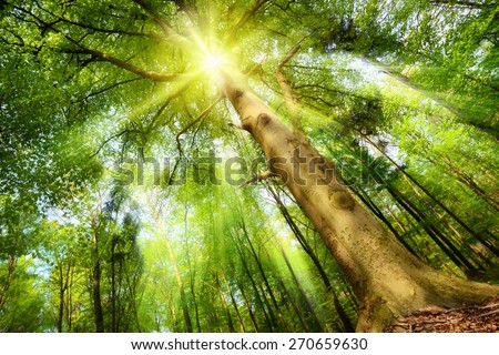 Magical mood in a fresh green forest with the sun shining through a big beech tree\'s crown and casting beautiful sunrays