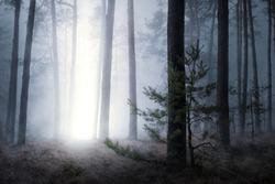 Magical picture of pine forest in night with mysterious beam of light coming from sky down to the ground. Spooky foggy landscape of dark forest with some supernatural phenomenon