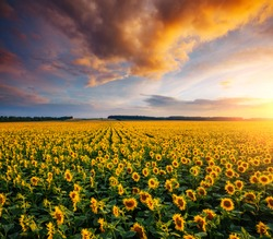 Magical scene of vivid yellow sunflowers from above in the evening. Location place Ukraine, Europe. Photo of ecology concept. Agrarian industry. Perfect wallpaper. Drone photography. Beauty of earth.