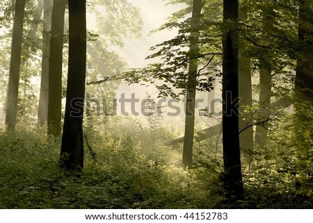 Magical spring forest surrounded by fog in the light of the rising sun.