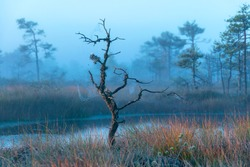 magical sunrise landscape from the bog in the early morning, tree silhouettes in the morning mist, blurred background in the fog, traditional bog vegetation, Madiesēni swamp, Latvia