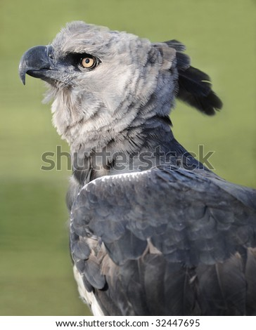 magnificent american harpy eagle or Harpia harpyja , side profile full frame, corcovado nat park, costa rica, central america